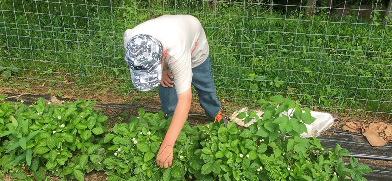 boy picking strawberries
